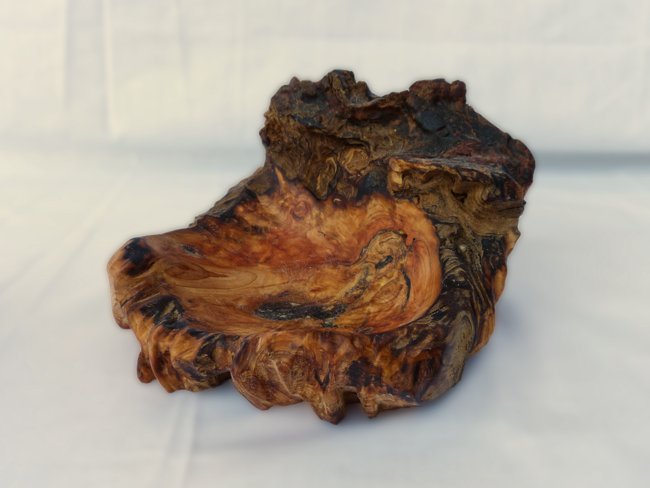 Kiefer Wurzel 19cm